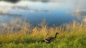 Canada geese at the Ashokan Reservoir