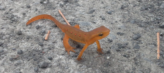 Meet The Eastern Red-Spotted Newts