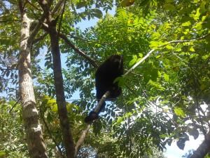 Black Howler Monkey in a tree