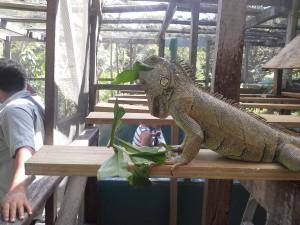 An iguana eats a leave