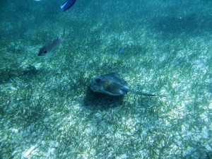 Photo of a Sting Ray swimming underwater along the Belize Barrier Reef near Caye Caulker