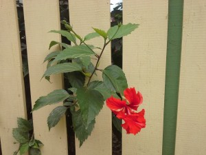 A red flower peaks through a yellow fence surrounding a home in Caye Caulker, Belize