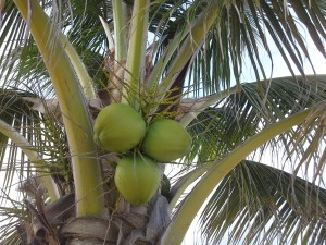 Photo of coconuts right on the tree