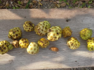 This is a photo of noni fruits