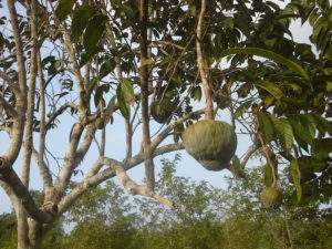 This is a photo of a Cherimoya tree on a farm in Belize with a close-up of its fruit