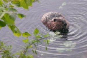photo of a beaver in a lake chewing on a stick