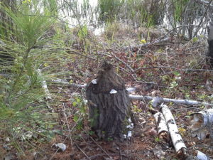 A gnawed tree stump in the woods showing beaver activity.