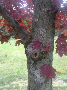 This is a photo of a red maple showing lichen on its bark in Wilson State Park, NY