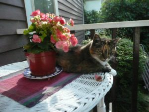 This is a photo of a striped calico cat with a little white chest lying on a white wicker table next to a pot of blooming pink flowers