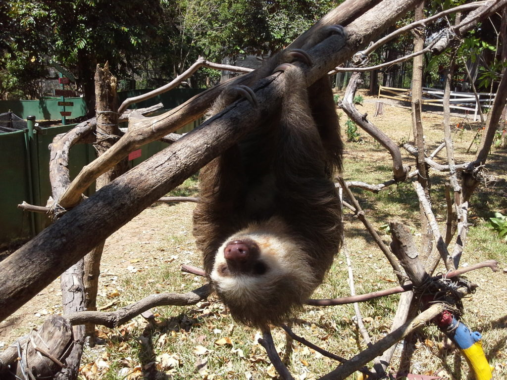 A sloth hanging upside down from a tree branch at the Costa Rica Animal Rescue Center