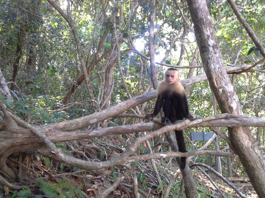 A whit faced capuchin monkey sits in a tree in Manuel Antonio Park, Costa Rica
