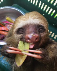 This is a close up photo of a baby sloth eating a freshly cooked piece of squash