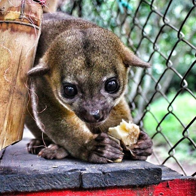 This is a close up photo of a rescued kinkajou eating a banana