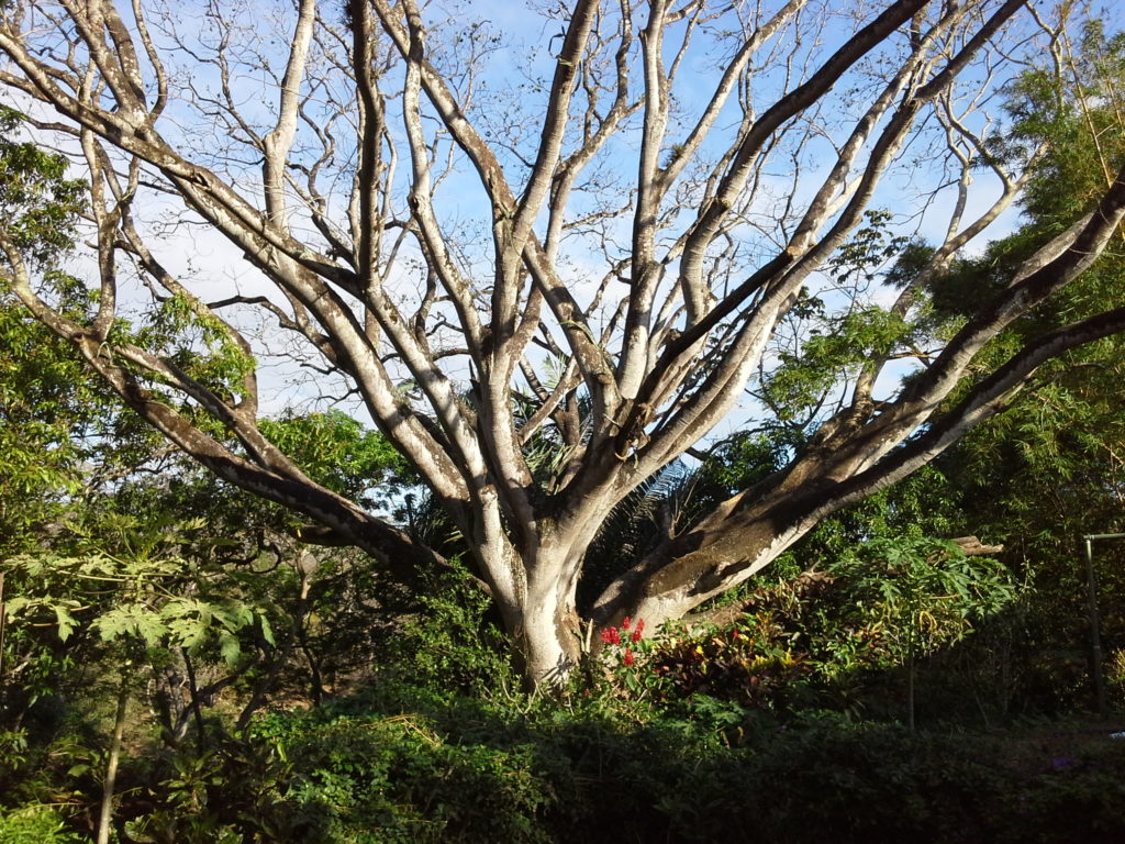 This photo is of a Guanacaste Tree in Costa Rica
