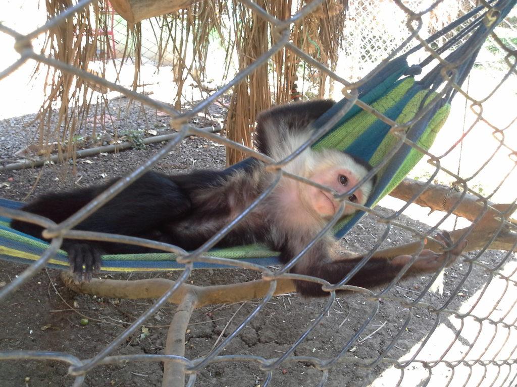 A female capuchin monkey lies on her back in a little hammock