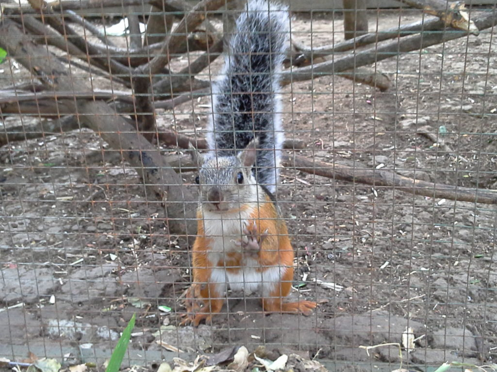 This is a close up photo of a squirrel looking out of his enclosure straight at you